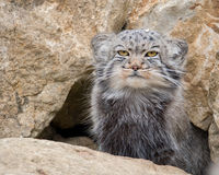 Pallas's cat. Otocolobus manul sitting outside it's rocky den in Port Lympne Reserve safari park in Kent - England Royalty Free Stock Photo