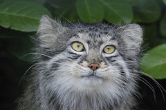 Pallas Cat Stock Photos