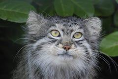 Pallas Cat. In a wildlife centre Stock Photos