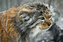 Pallas Katze (Lat. Felis manul) Lizenzfreie Stockbilder