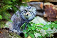 Pallas猫Otocolobus manul 图库摄影