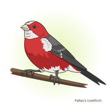 Pallas rosefinch bird educational game vector Stock Photography