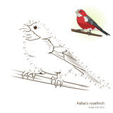 Pallas rosefinch bird learn to draw vector Royalty Free Stock Image