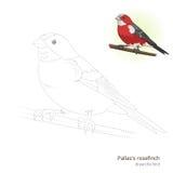 Pallas rosefinch bird learn to draw vector Royalty Free Stock Photos