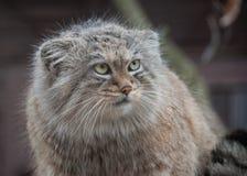 pallas s кота Стоковые Изображения