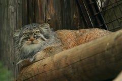 猫pallas s 图库摄影