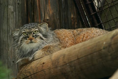 Pallas's Cat Stock Photography