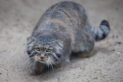 Pallas's cat Royalty Free Stock Photo