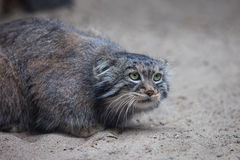 Pallas's cat Royalty Free Stock Image