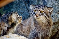 Pallas's Cat kittens Royalty Free Stock Images
