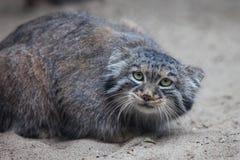 Pallas's cat Stock Image