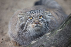Pallas's cat Royalty Free Stock Photography