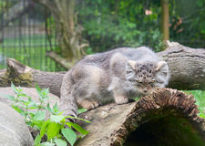 Pallas's cat Stock Images