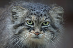 Pallas`s cat Otocolobus manul Stock Photo