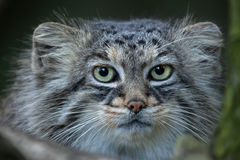 Pallas`s cat Otocolobus manul Royalty Free Stock Photography