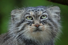Pallas`s cat Otocolobus manul Stock Photos