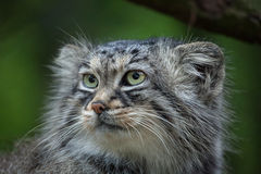 Pallas`s cat Otocolobus manul Royalty Free Stock Image