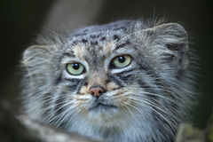 Pallas`s cat Otocolobus manul Stock Photography