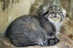 Pallas's cat (Otocolobus manul), also known as the manul. Royalty Free Stock Photo