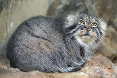 Pallas's cat (Otocolobus manul), also known as the manul. royalty free stock images