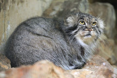 Pallas's cat (Otocolobus manul), also known as the manul. Stock Photo