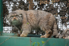 Pallas's cat (Otocolobus manul), also known as the manul. Stock Image