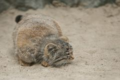 Pallas`s cat Otocolobus manul. Manul is living in the grasslands and montane steppes of Central Asia. Cute furry adult manul royalty free stock image
