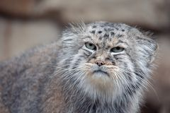 Pallas`s cat, Otocolobus manul royalty free stock images