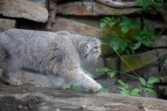 Pallas`s cat, Otocolobus manul stock photo