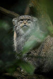 Pallas's cat (Otocolobus manul) Royalty Free Stock Photography
