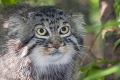 Pallas's cat Royalty Free Stock Image