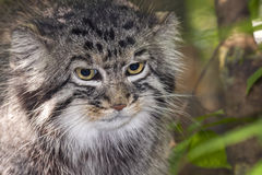 Pallas's cat Stock Photos