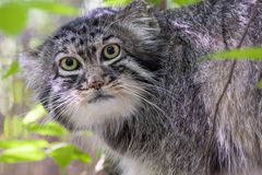 Pallas's cat Royalty Free Stock Images