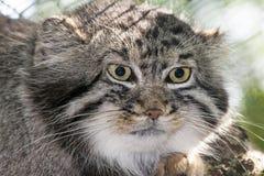 Pallas's cat Stock Photo