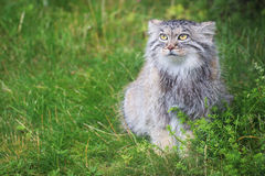 Pallas's cat royalty free stock photos