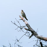 Pallas's Grasshopper Warbler Royalty Free Stock Images