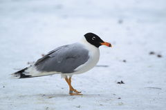 Pallas's Gull Stock Images