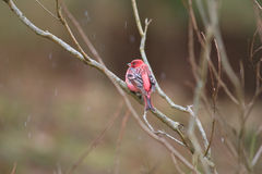 Pallas's Rosefinch Stock Image