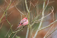 Pallas's Rosefinch Royalty Free Stock Photography