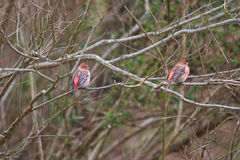 Pallas's Rosefinch Royalty Free Stock Photo