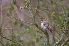 Pallas's Rosefinch Royalty Free Stock Images