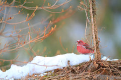 Pallas's Rosefinch Stock Images