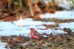 Pallas's Rosefinch Royalty Free Stock Image