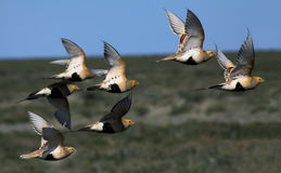 Pallas's sandgrouse (Syrrhaptes paradoxus) Stock Photos