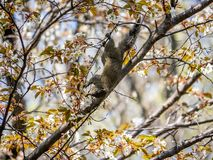 Pallas`s Squirrel in a Japanese cherry tree 3 stock photos