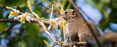 Pallas's squirrel or Red-bellied squirrel stock photography