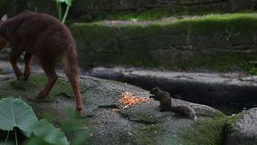 Pallas`s squirrel and the Taiwan serow eating food in the forest. Pallas`s squirrel and the Taiwan serow Capricornis swinhoei or Naemorhedus swinhoei eating food stock video