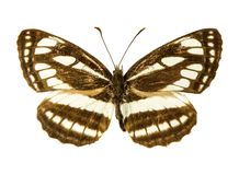 Pallas Sailer butterfly Stock Image