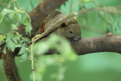 Pallas squirrel. On the tree Royalty Free Stock Images