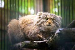 Pallas& x27; gato de s, ou manul, vidas nos estepes frios e áridos de Ásia central Imagem de Stock